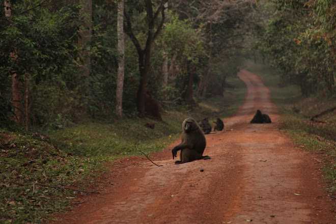 Chimpanzee family relaxing along the road that connects to murchison falls national park