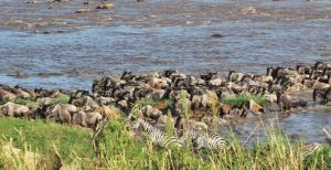 A crossing of wildebeests and zebras at the mara river