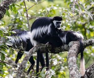 kibale primates