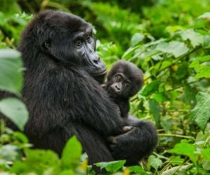 uganda gorilla hd